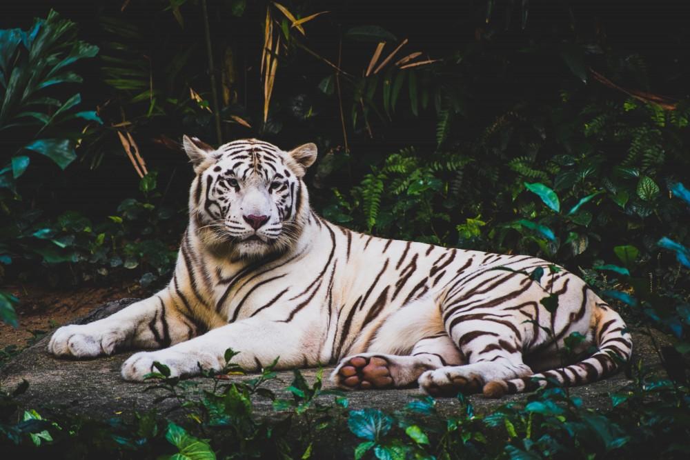 Tygrys, dżungla, rośliny tropikalne